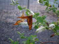 ツマグロヒョウモンとセセリチョウがアップルミントの花の蜜を吸っています。
