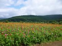 山中湖 花の都公園の百日草