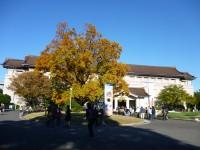 東京国立博物館前のユリノキ