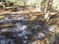 ヒメシャラの土は霜柱がきれい