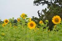 沼津御用邸記念公園のヒマワリ