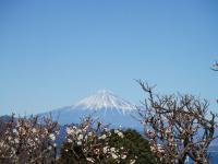 ホテルの梅も富士山をバックに映えます。