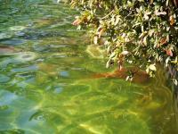 「華麗なる一族」で使われた池で、鯉が陽だまりに集まっています。