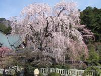 身延山の枝垂桜