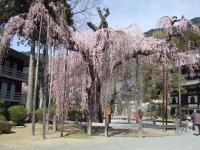 樹齢400年の枝垂桜