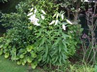 庭のカサブランカ1