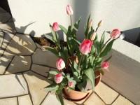 冬咲きのミラクルチューリップが満開