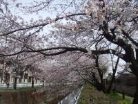 散歩道川べりの桜