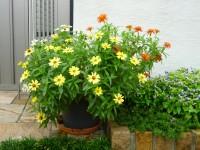 初夏、花の都公園で買って家で育てている百日草