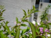 ムラサキシキブの花は可憐