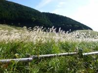 箱根の道路沿いはススキが風に揺れています