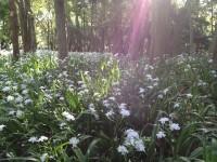 照葉樹林の間から太陽の光を浴びるシャガ